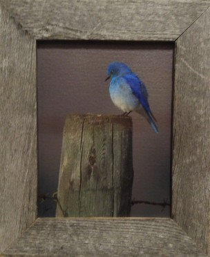 8 x 10 Mountain Bluebird Canvas Lustre Finish Rustic Wood Frame