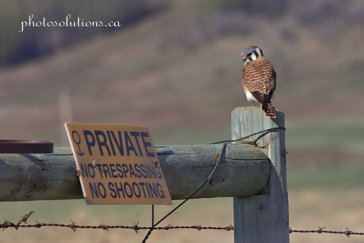 American Kestrel looking at private sign cropped wm