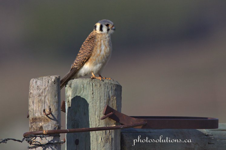 American Kestrel looking sideways cropped