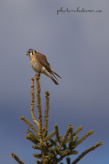 American Kestrel on tree top cropped wm