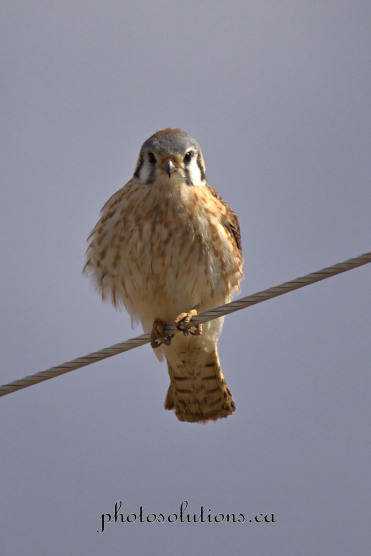 American Kestrel on wire cropped wm