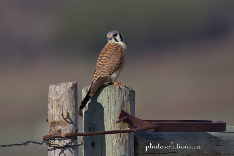 American Kestrel wild cat hills cropped wm