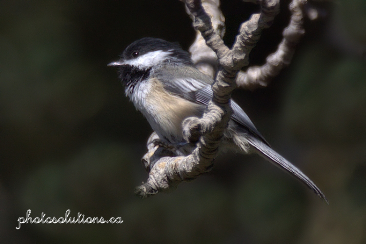 chickadee-on-branch-swing-wm