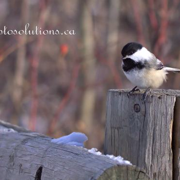 Black-capped at Weaselhead
