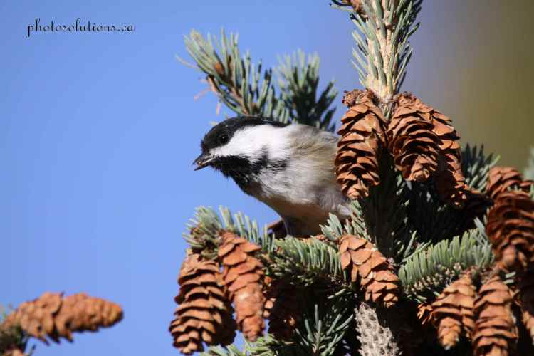 chickadee-with-pine-nut