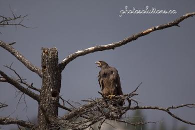 eagle-call-wm