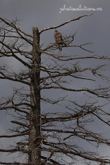 eagle-in-full-tree-wm