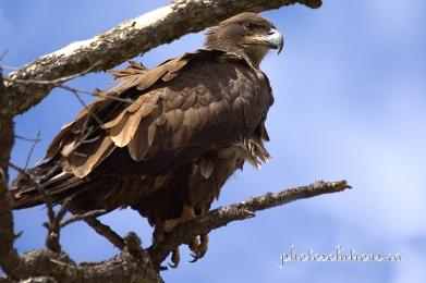 Golden Eagle Vermilion Lakes