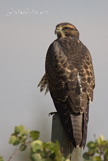 hawk looking back