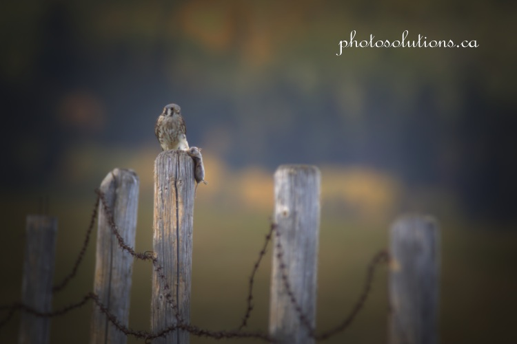 Kestral on fencepost with mouse full barbwire cropped wm