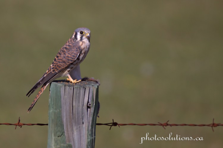 kestrel staredown cropped wm