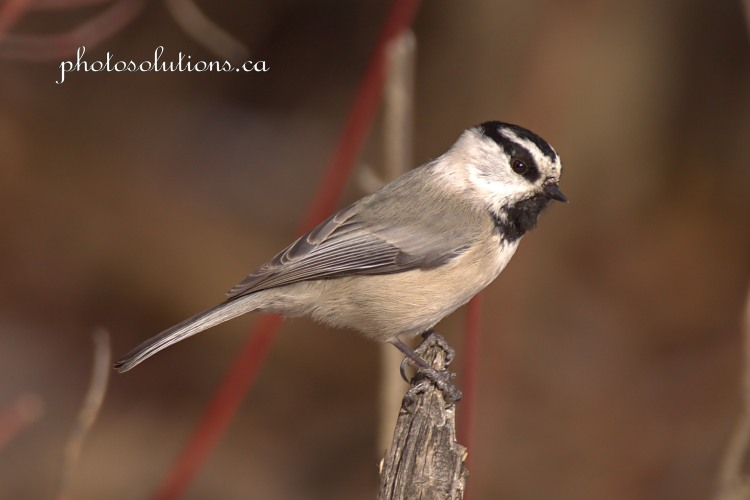 Mountain Chickadee Weaselhead cropped wm