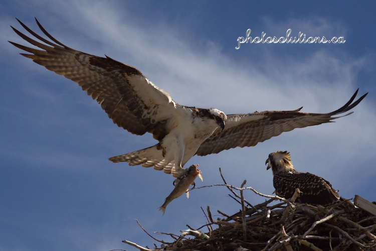 osprey-full-flight-with-fish-wm