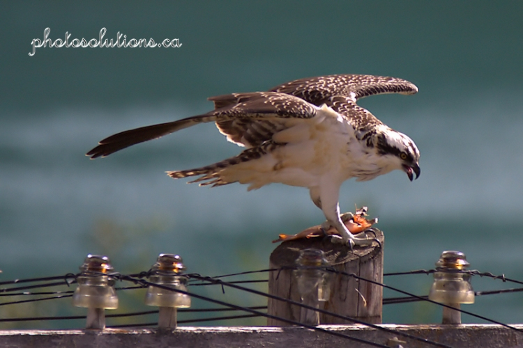 osprey-hydro-pole-with-fish-bow-river-wm