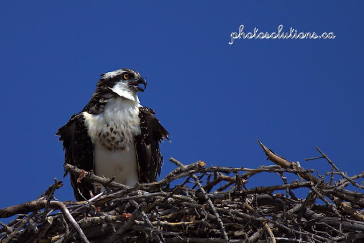 osprey-young-in-exshaw-wm