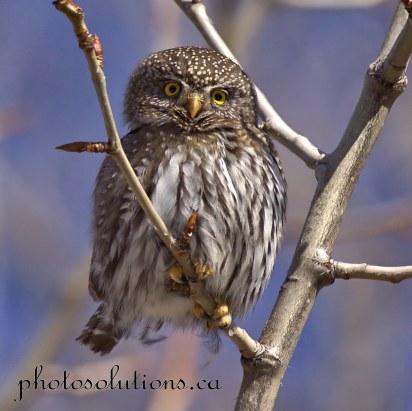 Pygmy Owl so cute Kananaskis cropped square wm
