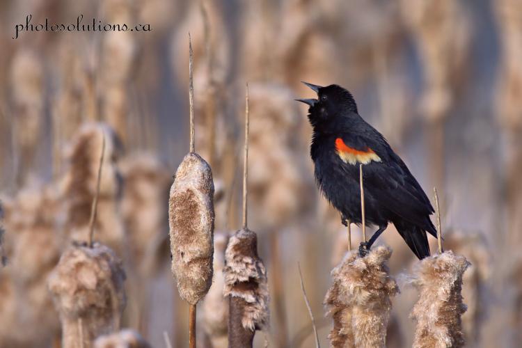 Blackbird singing at the pond cropped