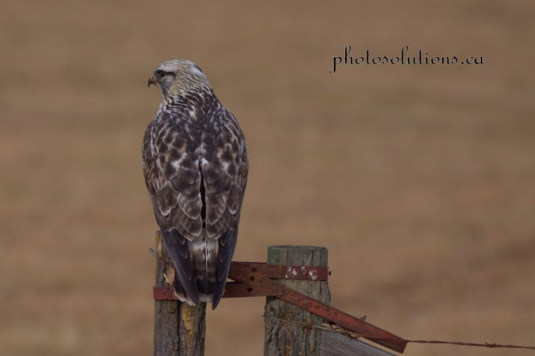 hawk-on-fence-opening-cropped-wm
