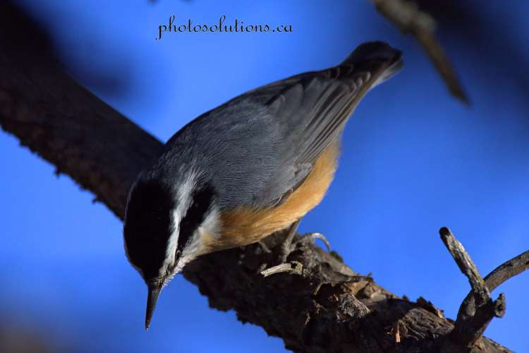 red-breast-nuthatch-weaselhead-wm
