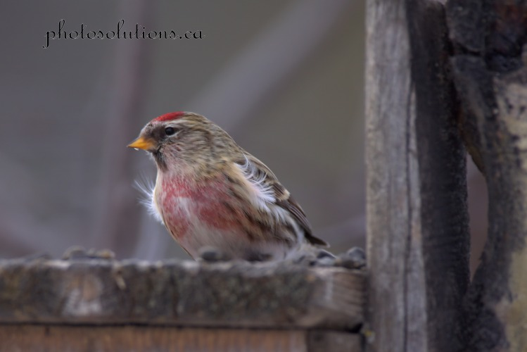 redpoll-on-feeder-weaselhead-wm