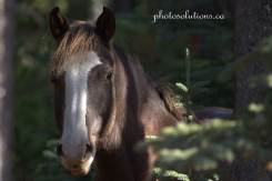 wild-horse-waiparous-valley-wm-white