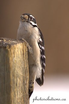 woodpecker-weaselhead-feb-2-cropped-wm
