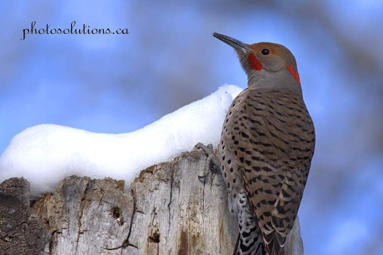 northern-flicker-riverfront-3-cropped-wm