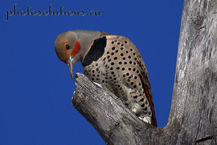 northern-flicker-riverfront-5-cropped-wm