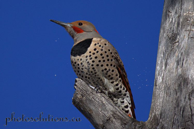 northern-flicker-riverfront-6-cropped-wm