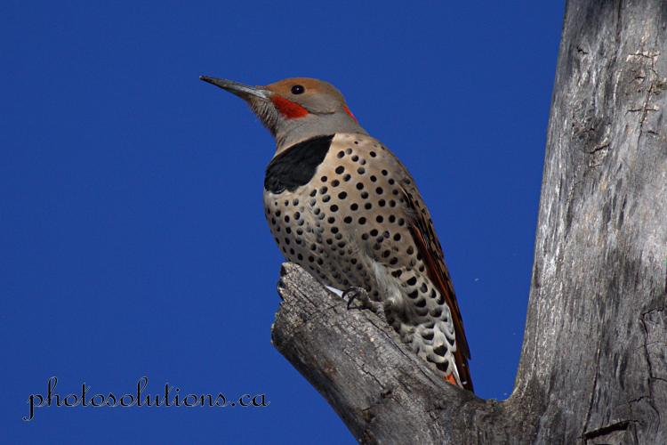 northern-flicker-riverfront-park-1-wm