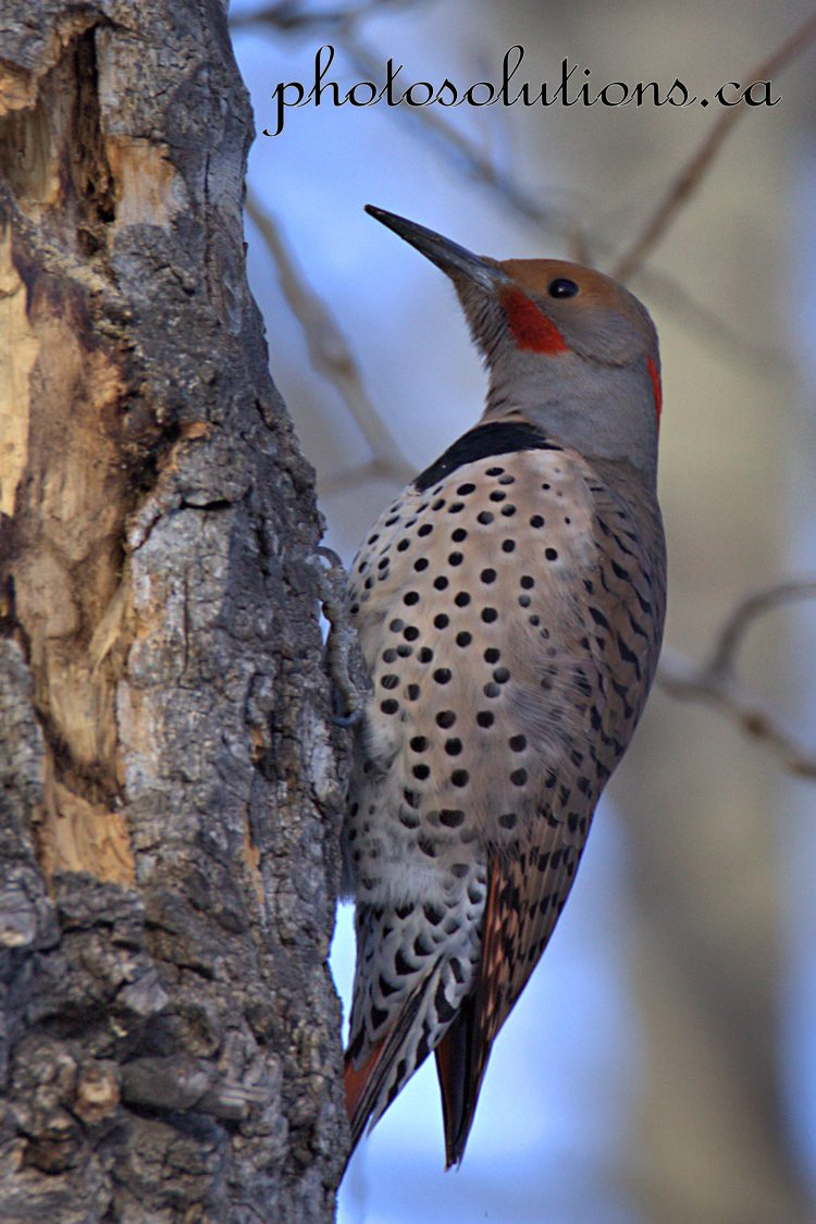 northern-flicker-riverfront-park-2-wmcropped