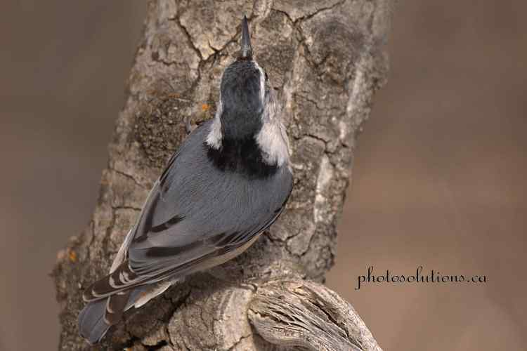 white-breastednuthatch-weaselhead-1-cropped-wm