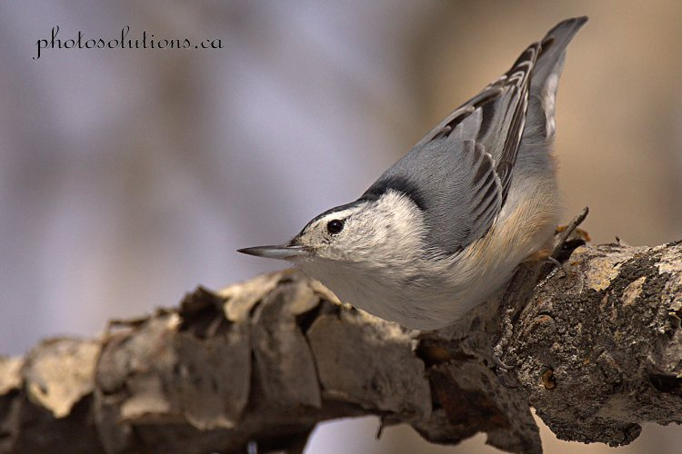 white-breastednuthatch-weaselhead-2-cropped-wm
