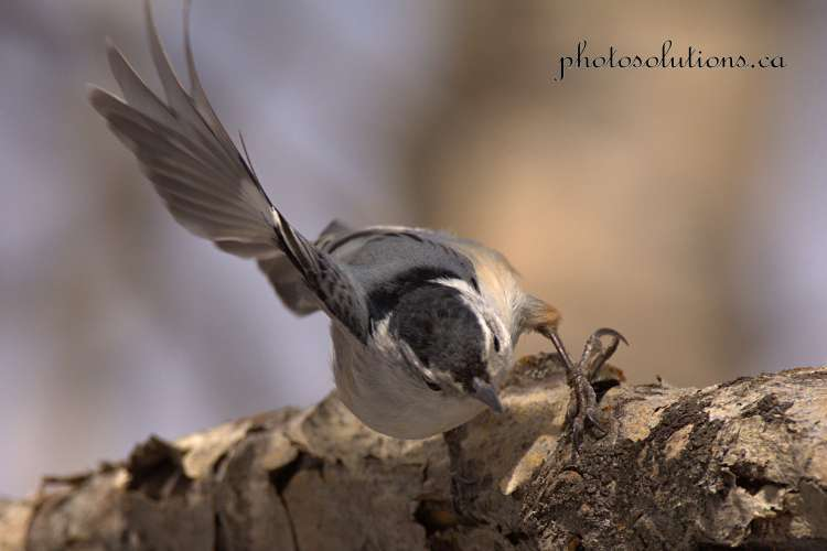 white-breastednuthatch-weaselhead-3-cropped-wm