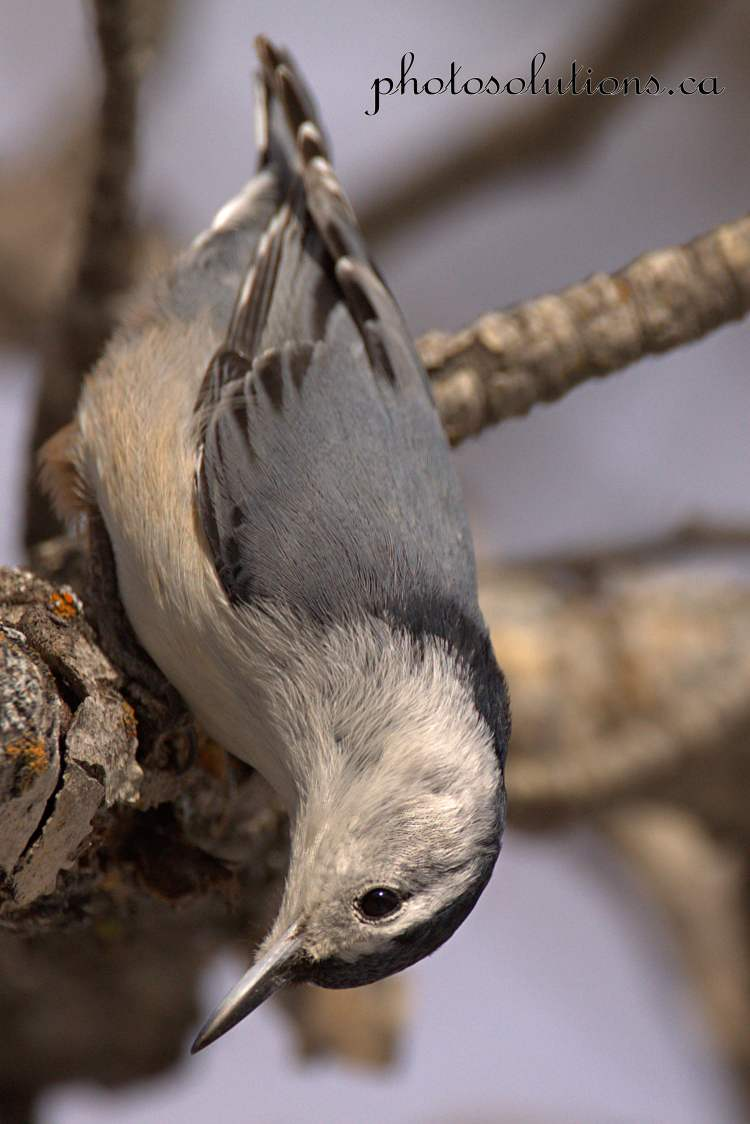 white-breastednuthatch-weaselhead-4-cropped-wm
