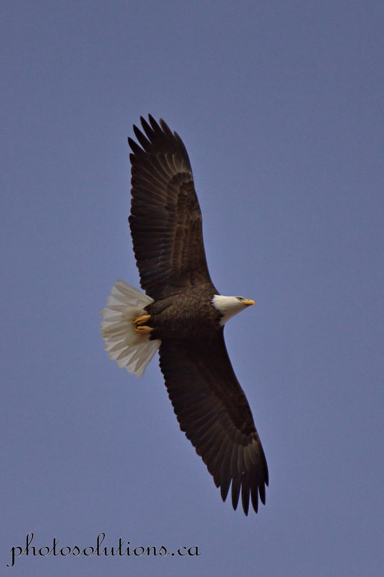 Bald Eagle soaring overhead Sibbald Creek cropped wm