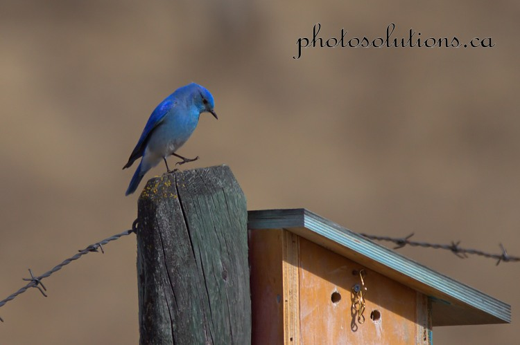 Bluebird dance on birdhouse Sibblald Creek cropped