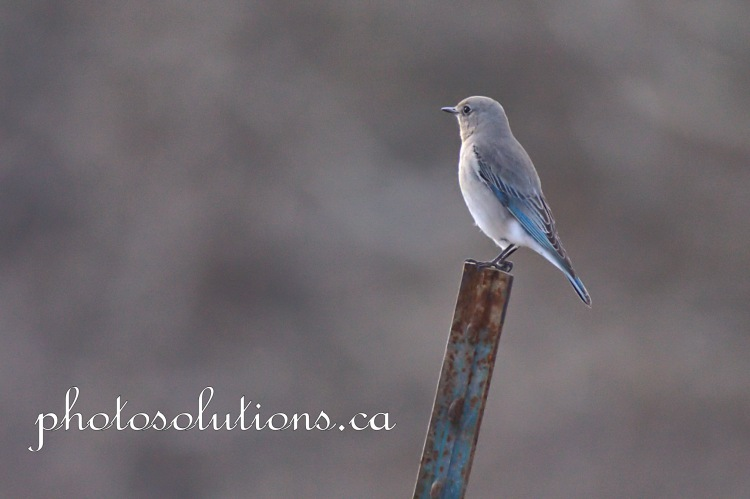 Bluebird female on metal post Sibbald Creek wm cropped