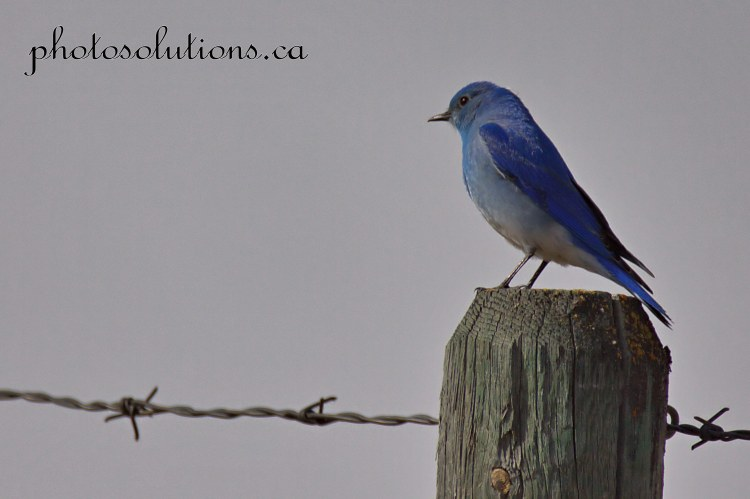 Bluebird fencepost Sibbald Creek cropped