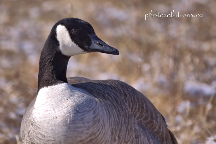 Canada Goose Mitford Park standing guard cropped wm