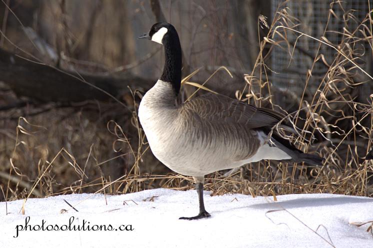 Goose Yoga Inglewood cropped wm