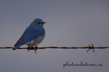 Male Bluebird South of 1A cropped wm