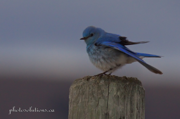 Male Bluebird south of 1A fencepost ready to fly cropped wm