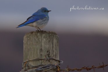 Male Bluebird standing watch on fencepostcropped wm jpg