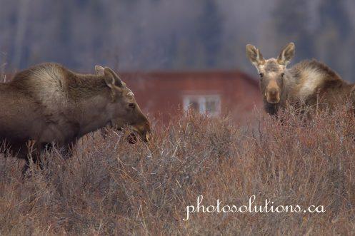 Moose Herd Horse Creek Road 2 cropped wm