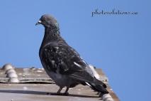 Pigeon on footbridge 2 wm