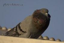 pigeon puffed 2