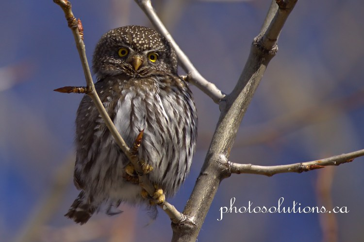 Pygmy Owl cute and curious Kananaskis cropped wm