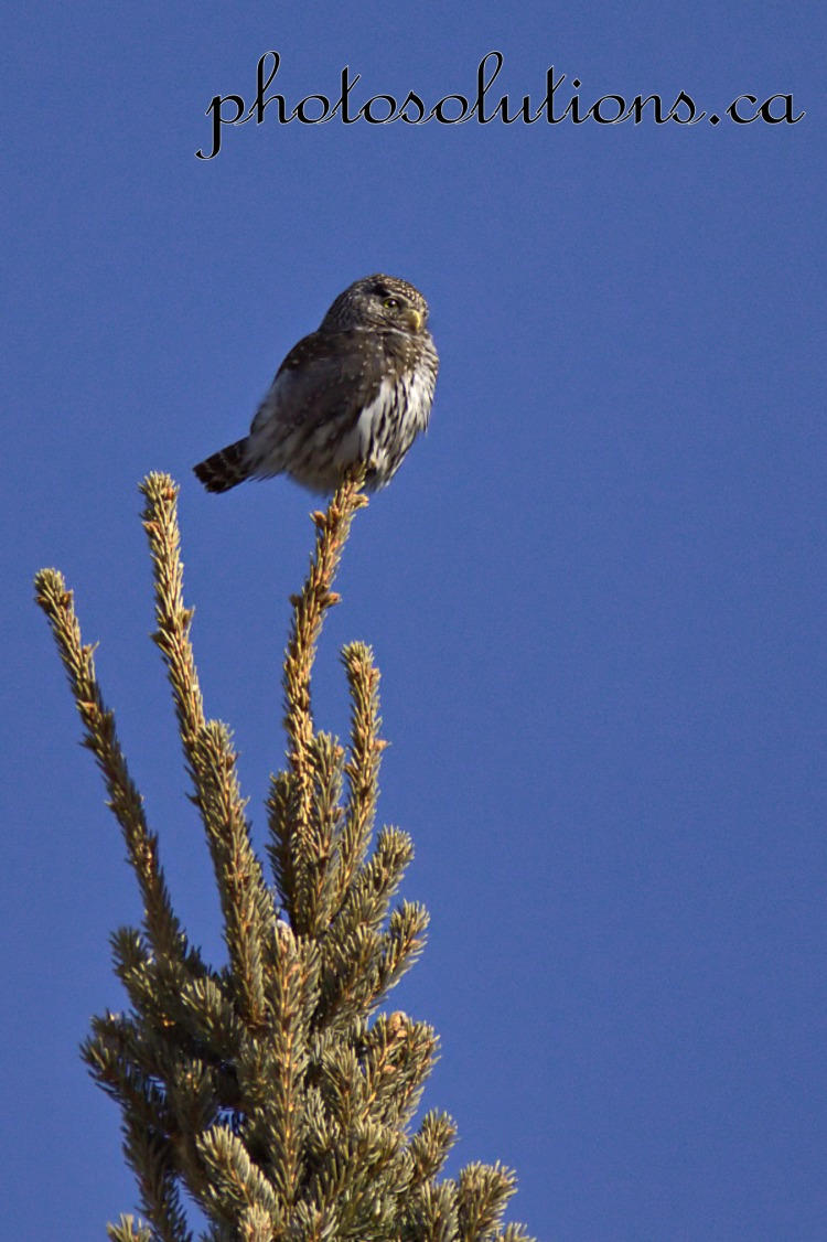Pygmy Owl on tree top Kananaskis cropped wm