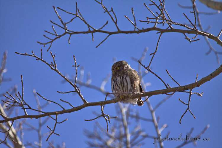 Pygmy Owl scanning the meadow Kananaskis wm